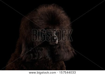 Close-up Portrait of Brown poodle dog on isolated black background