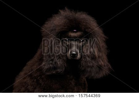 Close-up Portrait of Brown poodle dog looking in camera on isolated black background