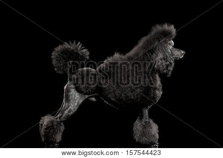 hairstyle Black poodle dog standing , on isolated black background