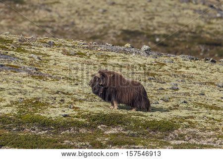 Male musk ox (Ovibos moschatus) standing in meadow