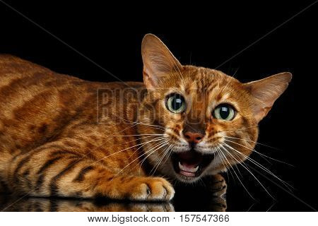 Close-up Funny Bengal Cat, Curious Looking in camera and Opened mouth meow, with beautiful green eyes, isolated on Black Background