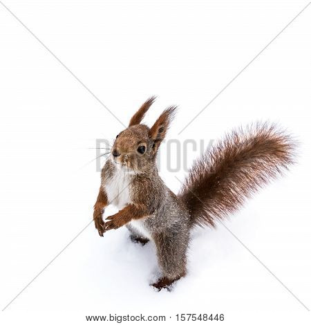 Cute Young Squirrel Standing On White Snow