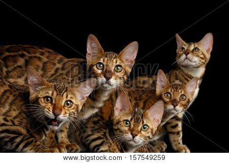Close-up Portrait of Group Adorable breed Bengal kittens, Curious Looking in camera isolated on Black Background, 5 cats
