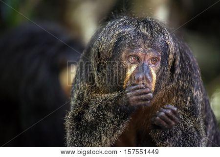 White-faced Saki Monkey eating