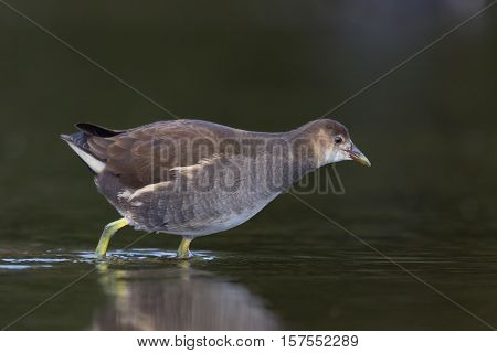 common moorhen (Gallinula chloropus) walking through the water