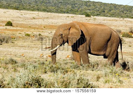 African Bush Elephant With His Trunk In The Grass.
