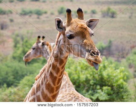 Giraffe is an African even-toed ungulate mammal, the tallest living animal and the largest ruminant.