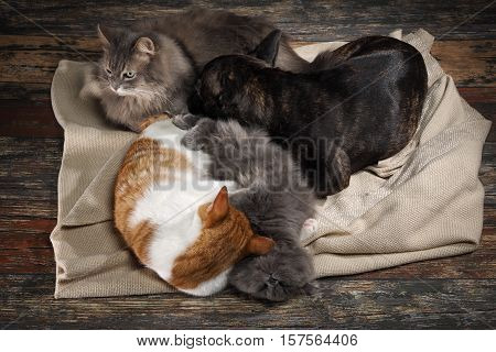 Cute cat and dog sleep huddled together in a blanket on the floor of the old boards