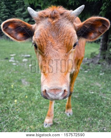 The portrait of cow on the background of field. Beautiful funny cow on cow farm. Young brown calf staring at the camera. Red cow close up