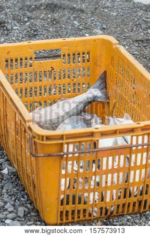 catch of salmon lies in the black basket