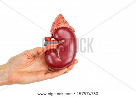 Female hand holding kidney model isolated on white background