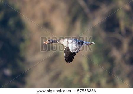 Grey goose (anser anser) flying in natural environment