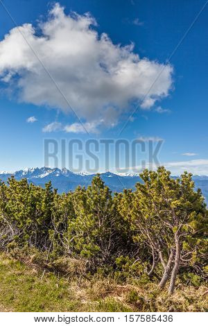 Mountain Pine In South Tyrol