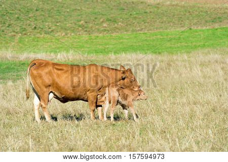 French Limousine cow with calf in landscape