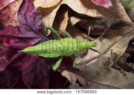 Green female of Malaysian Stick Insect Heteropteryx dilatata