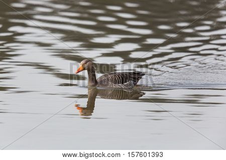 one grey goose (anser anser) swimming in water