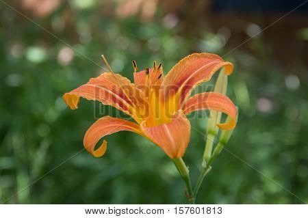 A beautiful wild orange tiger lily in summer