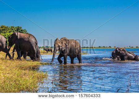 Herd of African elephants crossing shallow Delta Okavango. Watering in the  river. Chobe National Park in Botswana