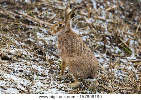 brown hare (European hare Lepus europaeus) sitting in a field in winter during snow