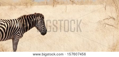 Zebra standing in field of grass, kruger national park, south africa