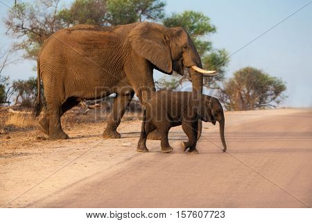 Mother and child elephants crossing the road in Kruger National park, south africa