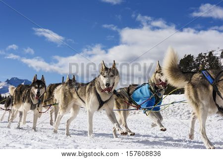 musher dogteam driver and Siberian husky at snow winter competition race in forest