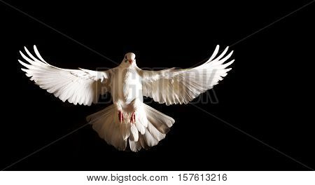 white dove with open wings flies on a black background, postal dove, symbol of peace, isolated object