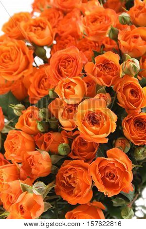 Close-up of a beautiful bouquet of orange roses. Isolated on white background