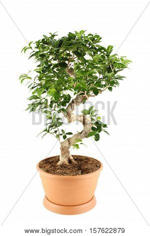 Close-up of a ficus tree. Plant in a pot. Isolated