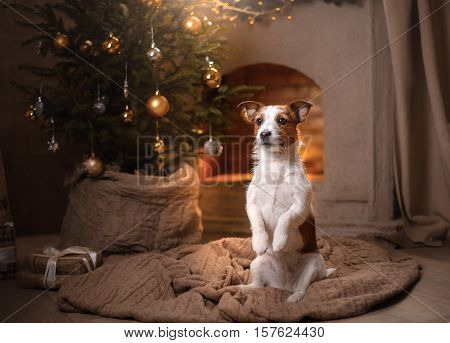 Dog Jack Russell Terrier. Christmas Season 2017, New Year