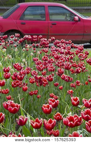 red tulips on green grass blossomed field of tulips red car