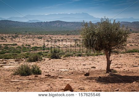 Orange sandy soil of a stone desert in Morocco. Argan tree in the foreground. In the background Atlas Mountains with a snow on the top. Cloudy sky.