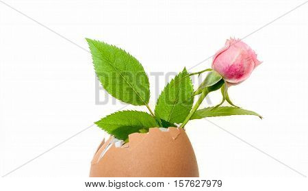 small pink rose mignon inside an empty eggshell isolated on white background