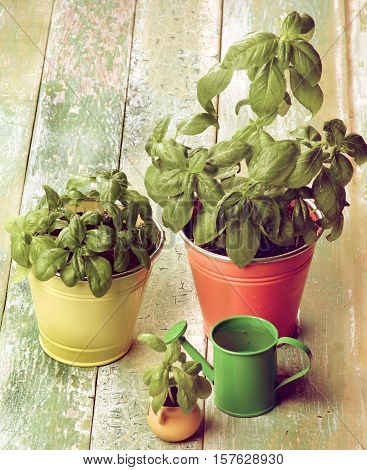 Fresh Green Lush Foliage Basil in Various Flower Pots with Green Catering Can closeup on Cracked Wooden background. Retro Styled