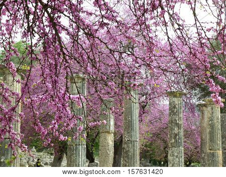Doric Columns Amongst Beautiful Pink Flowers at Olympia Archaeological Site of Greece