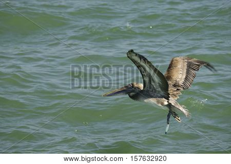 Brown pelican flying over the Gulf of Mexico.