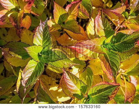 Closeup of Smooth Hydrangea leaves in fall time colors
