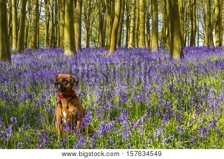 Cute Dog sitting in bluebell filled woodland