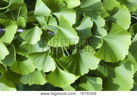 Fan Shaped Leaves