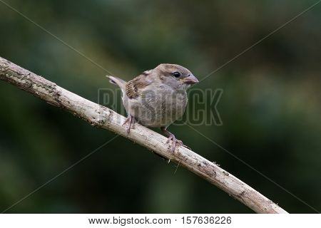 House Sparrow (Passer Domesticus) perched on branch