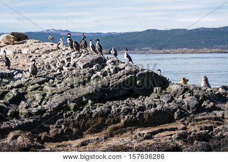 The Cormorants on island in Beagle channel