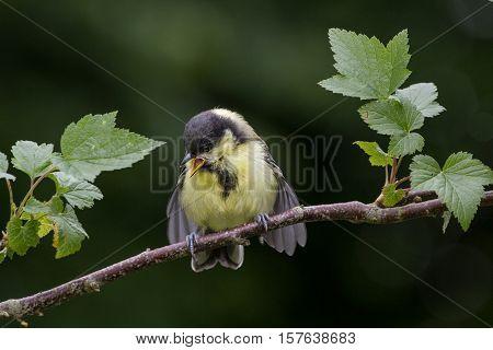 Juvenile Great Tit (Parus Major) on Branch