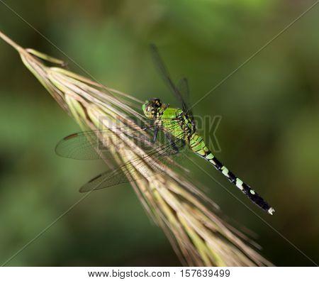 Female Eastern Pondhawk (Erythemis simplicicollis) resting on grass