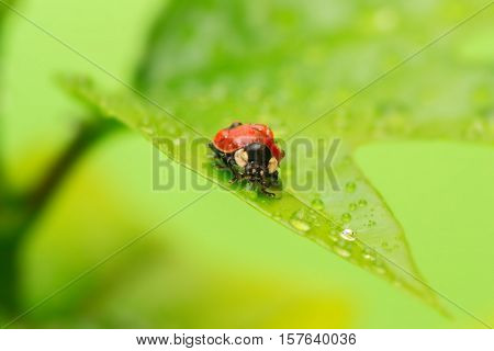 Close-up ladybug on a green leaf in the grass with water drops.