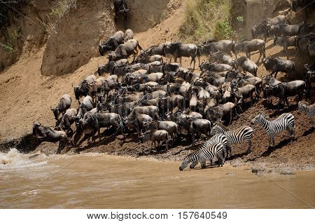 Wildebeests running through the savannah. Great Migration. Kenya. Tanzania. Masai Mara National Park
