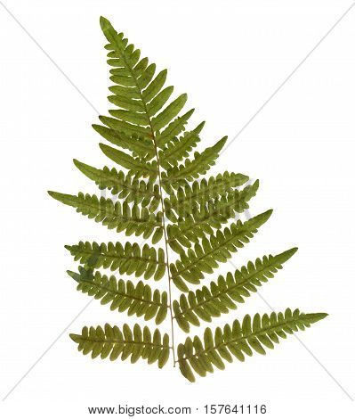 Dried and pressed fern leaf. Herbarium of fern isolated.