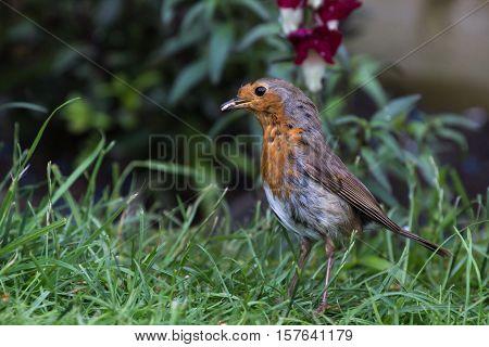 Robin Bird (Erithacus Rubecula) in the Grass