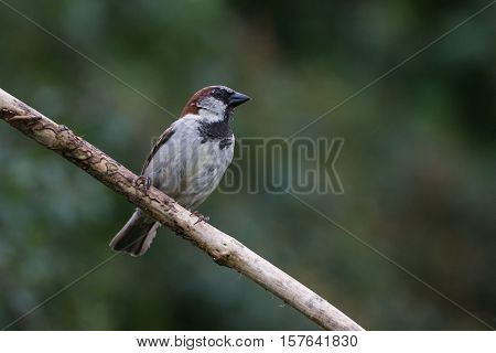 House Sparrow (Passer Domesticus) on Branch facing right