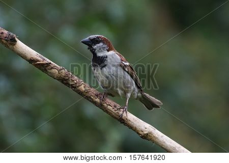 House Sparrow (Passer Domesticus) on Branch facing left