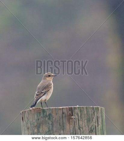 Northern Wheatear (Oenanthe oenanthe) perched on a post